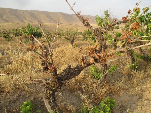 فاجعه خشک شدن تاکستانهای کوهدشت