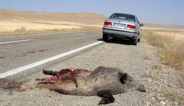 جاده های پرخطر عامل اصلی مرگ و میر حیات وحش پارک گلستان