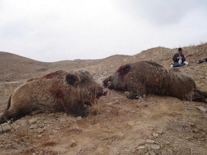 کشتار بیرحمانه ۲۰ رأس گراز در زنجان