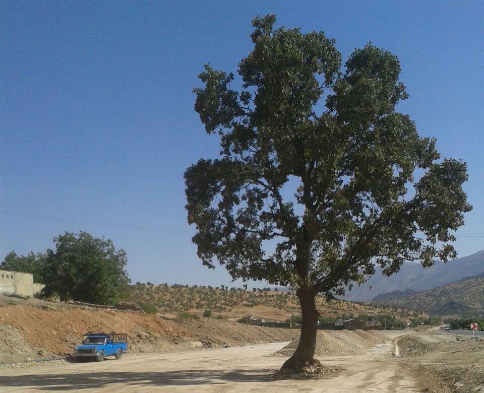 بلوط ۴۵۰ ساله برای جادهسازی قطع میشود