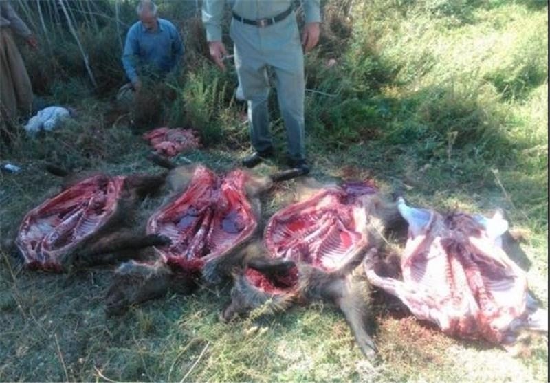 کشتار بیرحمانه ۳ رأس گراز در پلدختر