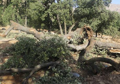 تعطیلی جادهسازی به علت قطع درختان بلوط