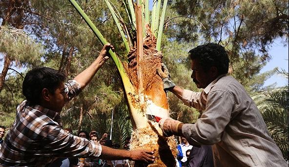 مردم کویر درخت نخل قربانی میکنند
