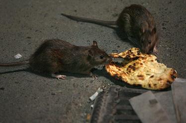 موشهای زندهخوار در راه تهران