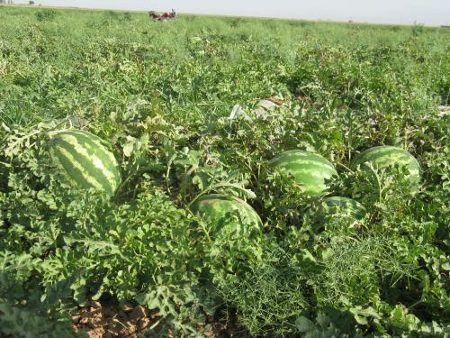 کاشت محصولات آببر کاهش یابد