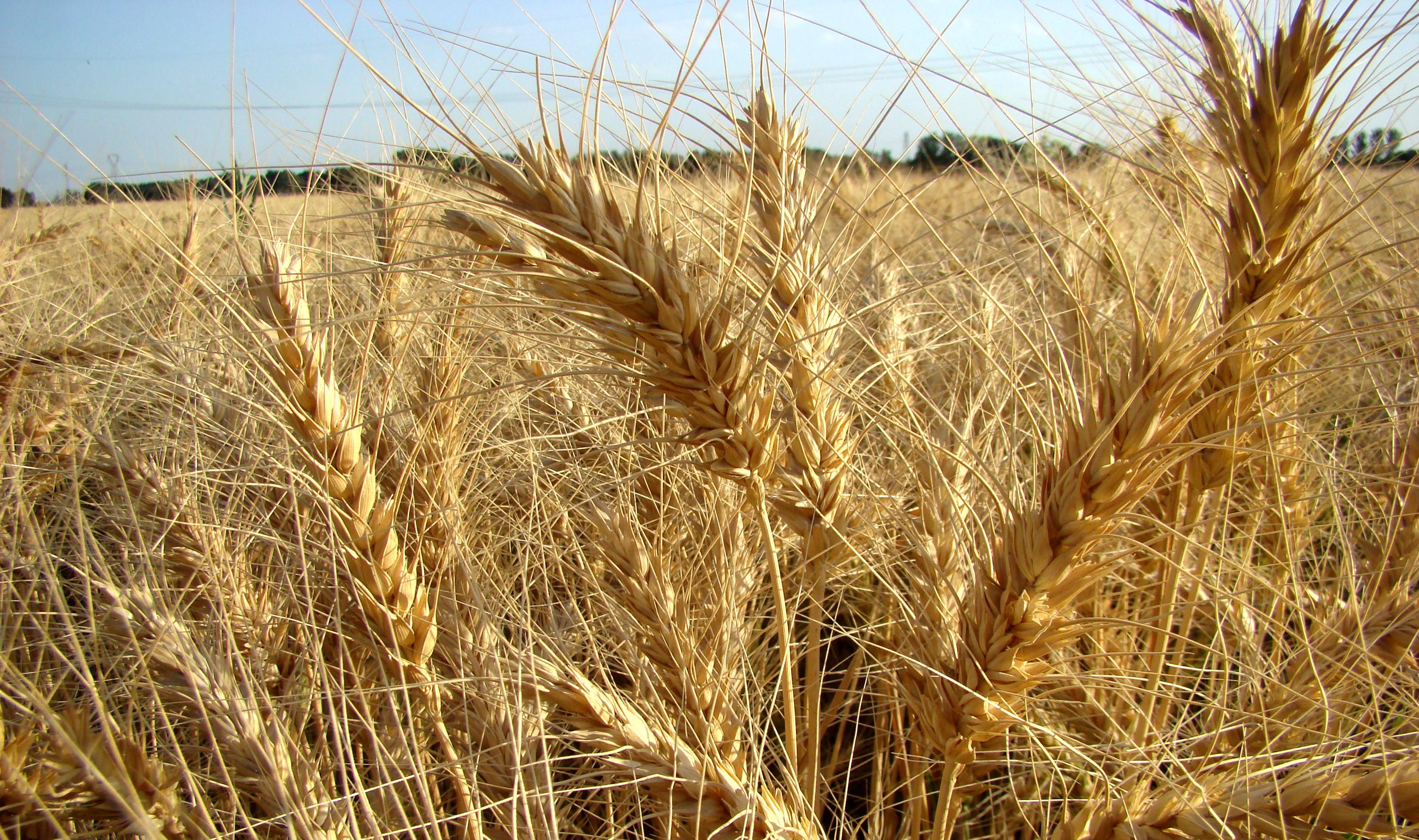 برداشت ۴۰ هزار تن گندم در بروجرد