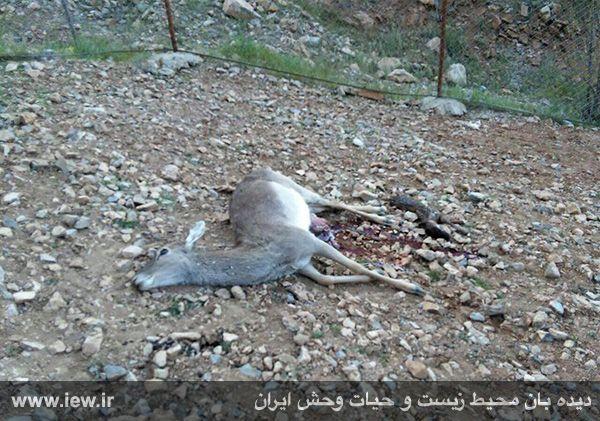 پشتپرده مرگ گوزن زرد باغوحش خرمآباد چیست؟