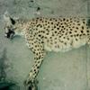تولهی ماده یوزپلنگ تلفشده شاهرود مشاهده شد