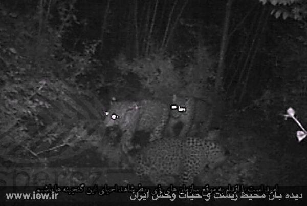 از سه پلنگ در مناطق جنگلی سوادکوه تصویربرداری شد