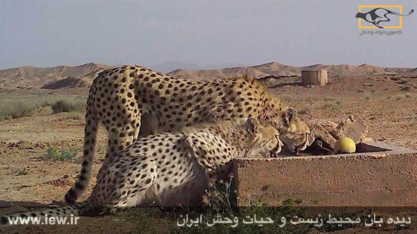 از یک یوزپلنگ ماده و تولهاش تصویربرداری شد