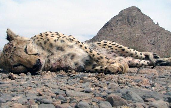 یک یوزپلنگ ایرانی در اثر تصادف کشته شد