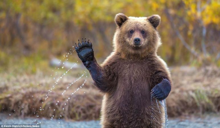خرس قهوهای: ما هرچه بیشتر میمالیم، آدمها بیشتر میآیند