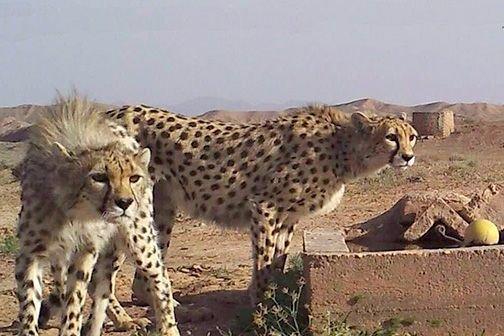 حداقل ۸ قلاده یوزپلنگ ماده در توران شاهرود وجود دارد