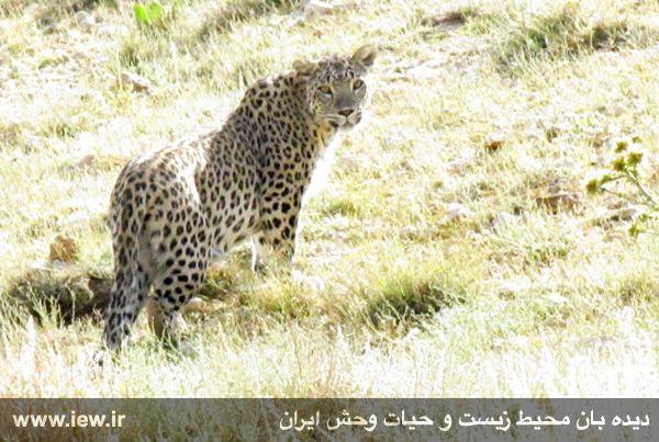 تصویربرداری از پلنگ ایرانی در پارک ملی صیدوا (عکس و فیلم)