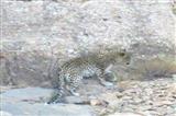 مشاهده پنجمین یوز و نخستین پلنگِ پارک ملی توران