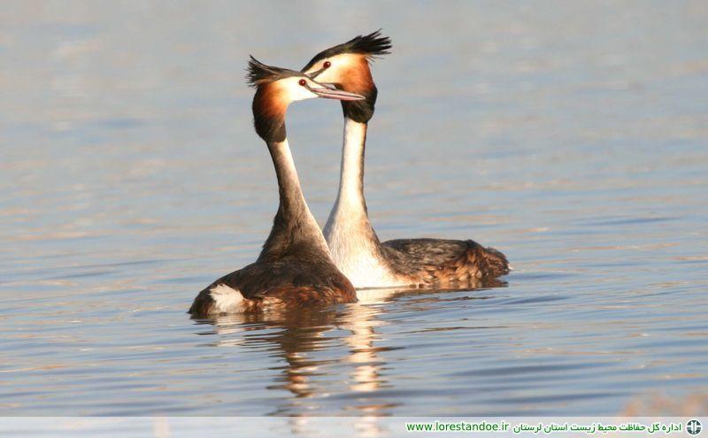 کوچ پرندگان مهاجر به تالابهای پلدختر