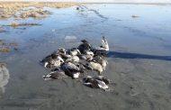 آنفلوآنزای پرندگان در تالاب میقان از وضعیت بحرانی فروکش کرد
