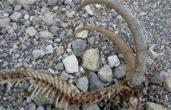 مشاهده آثار وجود پلنگ در اطراف دریاچه گهر