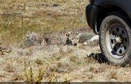 آخرین وضعیت هیرکان، ماده پلنگ رهاسازی شده در پارک ملی گلستان