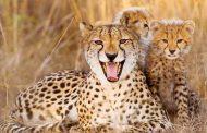 ۸۰درصد حفاظت یوز در کنیا مردمی است