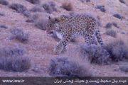 شکار فیلم و عکس از سه پلنگ در پارک ملی صیدوا