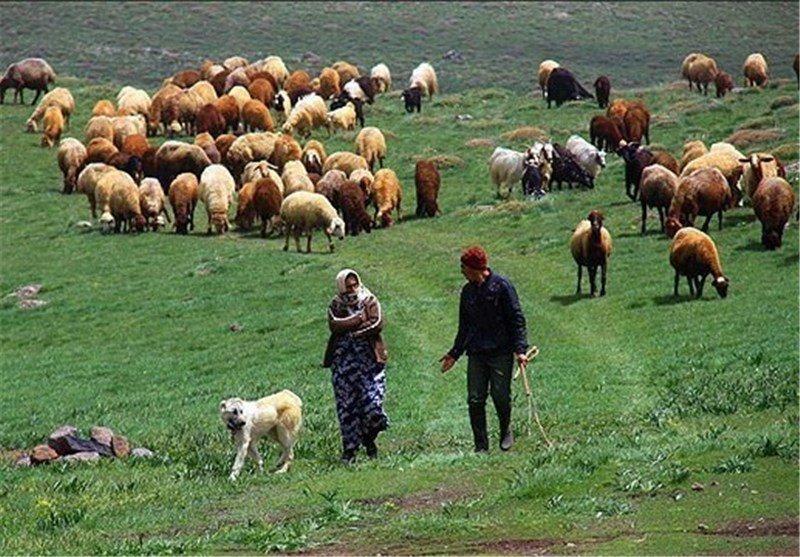 چرای زودرس، عامل فقر مراتع استان لرستان