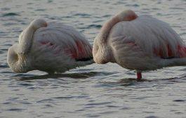 گزارش تصویری از فلامینگوهای مهمان طبیعت ازنا