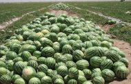 هندوانههای صادرشده هنوز مرجوع نشده است