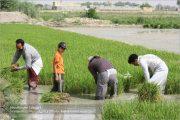 برنجی که گاوخونی را خشک میکند