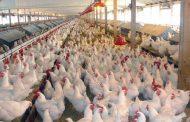 بزرگترین طرح تولیدی مرغ گوشتی کشور در لرستان بهره برداری شد
