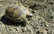 مشاهده  لاکپشت آسیایی برای اولینبار در استان قزوین