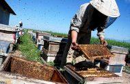 تولید سالیانه ۱۷۲ تن عسل در شهرستان الیگودرز