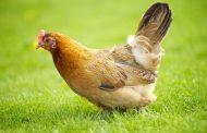 از مرغ متعادل تا پراید فقرا