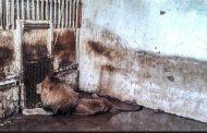 روزگار تلخ شیرها در قفسهای تنگ
