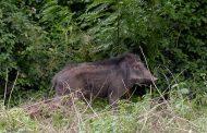 حمله گرازها به زمینهای کشاورزی ازنا