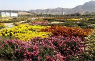گزارش تصویری از جشنواره گلهای داوودی خرمآباد