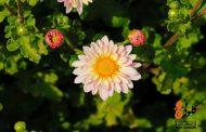 گُلگشت در جشنواره گلهای داوودی خرمآباد