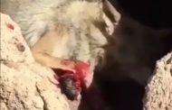 هشدار: فیلم گرگ زخمی به شدت آزاردهنده است