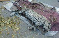 لاشه یک پلنگ در طارم قزوین پیدا شد