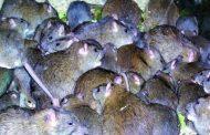 این چه وقت صحبت از موش آدمخوار بود؟