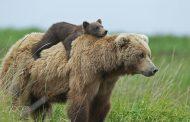 گوشت خرس برای ولنتاین