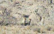 مشاهده یک جمعیت یوزپلنگ در ذخیرگاه زیستکره توران در روز جهانی یوز