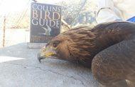 یک بهله «عقاب طلایی» در خرمآباد رهاسازی شد