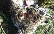 پلنگ رودسر کشته شد