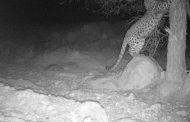 ثبت تصویر پلنگ ایرانی در پارک ملی صیدوا