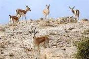 آغاز سرشماری پستانداران وحشی علفخوار در مناطق تحت مدیریت استان قزوین