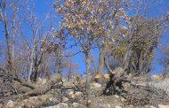 مرگ مظلومانه جنگلهای بلوط