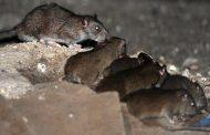 نگاهی به خبر وجود ۷۰ میلیون موش آدمخوار در تهران