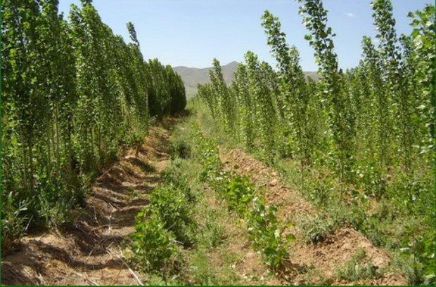 تشریح اولویتها در توسعه زراعت چوب