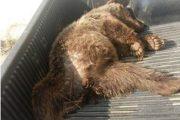 دو سال حبس برای عامل شکار خرس قهوهای در شاهرود
